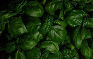 basil to soothe skin rash after gardening