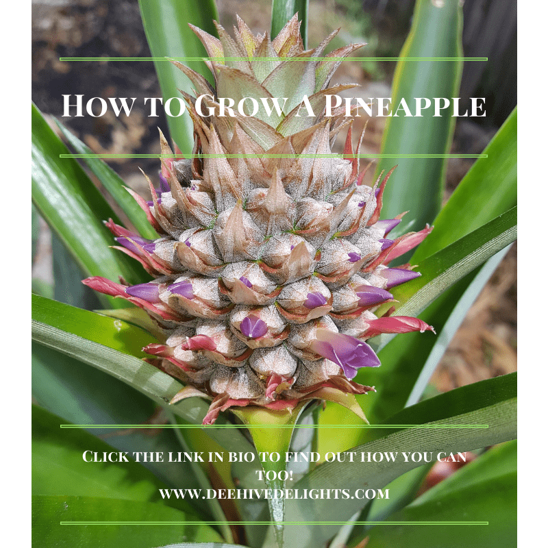 homegrown organic pineapple in garden